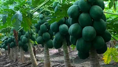 Photo of Papaya Farming Business in India – Complete Information